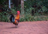 Inexplicably, there were chickens and roosters wandering everywhere