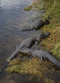 There was no shortage of gators
