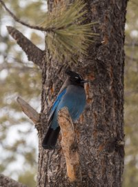 A Steller's Jay, wondering what I've got for lunch