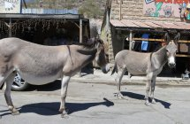 More burros, wondering what parts of my car might be edible