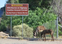 Good warning, but if you don't know what a burro looks like, here's a couple examples