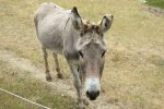 Combination burro/alarm clock