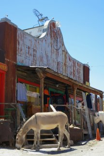 Burros having their way with the hardware store in Oatman