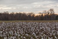 Down in the land of cotton